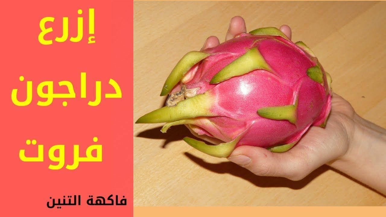 Pin On فاكهة التنين دراجون فروت طريقة سهلة لزراعة دراجون فروت Dragon Fruit Https Youtu Be Iukgqprmc U