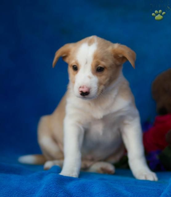 Frisbee Border Collie Puppy For Sale In Allensville Pa Lancaster Puppies Collie Puppies For Sale Puppies For Sale Lancaster Puppies