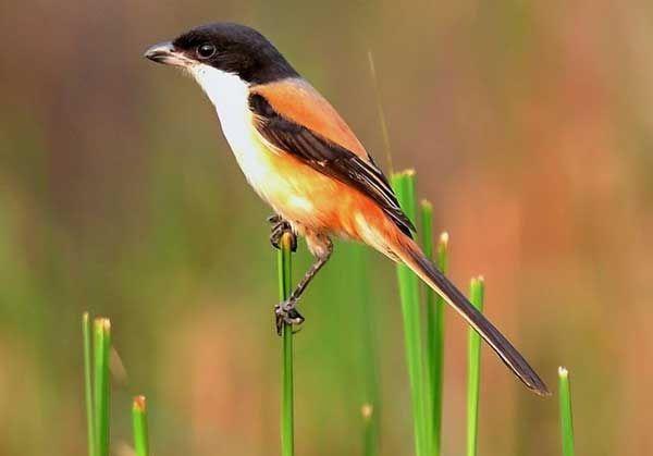 Pin Di Bird Species