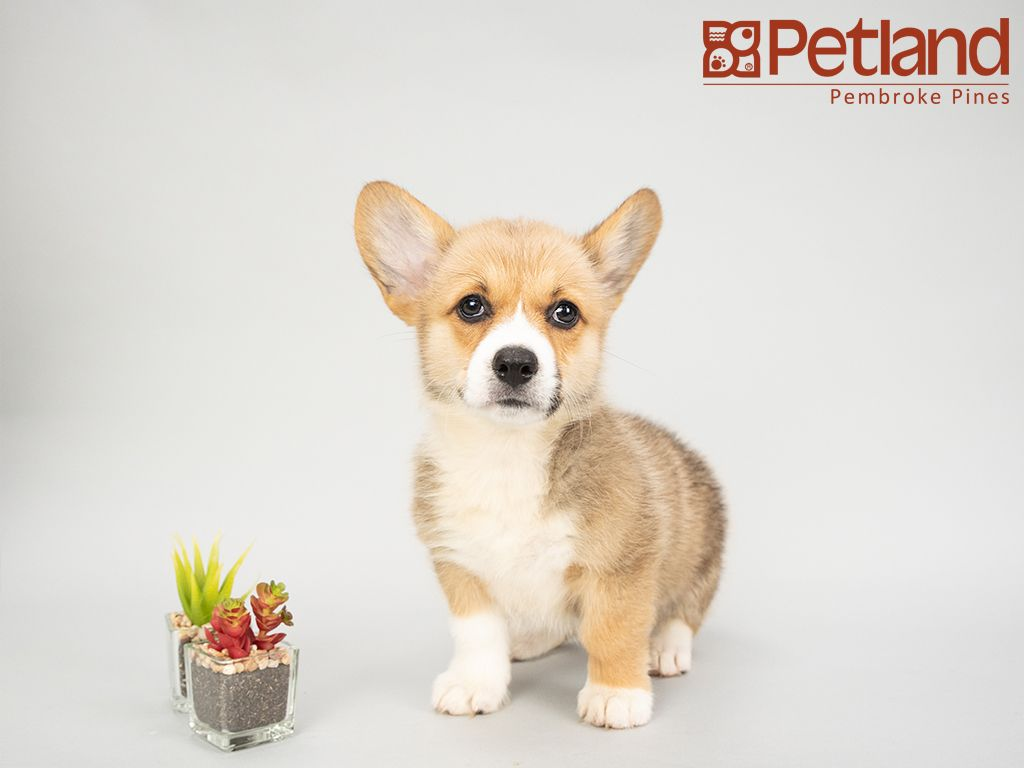Petland Florida Has Pembroke Welsh Corgi Puppies For Sale Interested In Finding Out More About This Breed C Corgi Puppies For Sale Corgi Pembroke Welsh Corgi