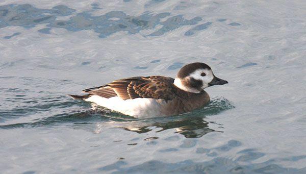 Long Tailed Duck Clangula Hyemalis Pato Havelda Pato Cola