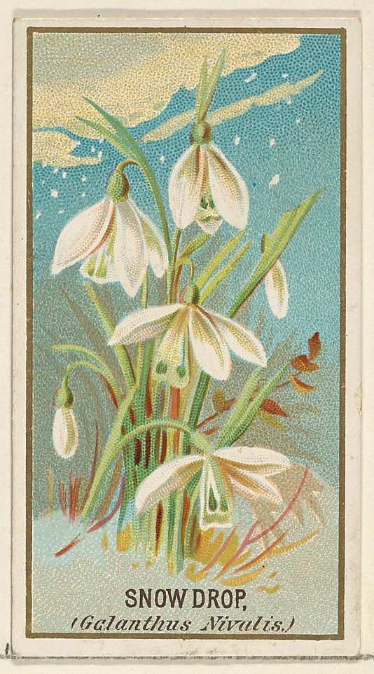 Snowdrop Galanthus Nivalis From The Flowers Series For Old Judge Cigarettes 1890 Art Vintage Wall Art Floral Illustrations