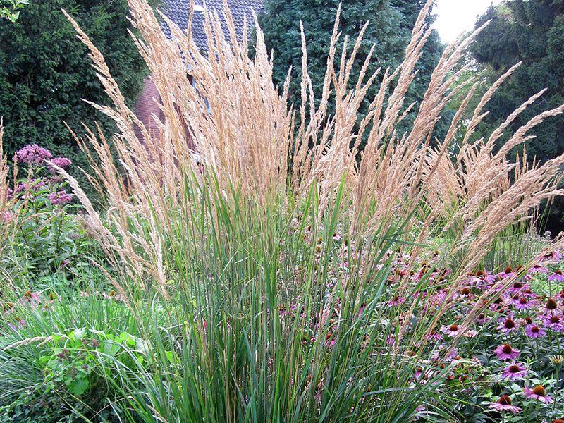 Ziergras Garten reitgras calamagrostis acutiflora karl förster ziergras garten