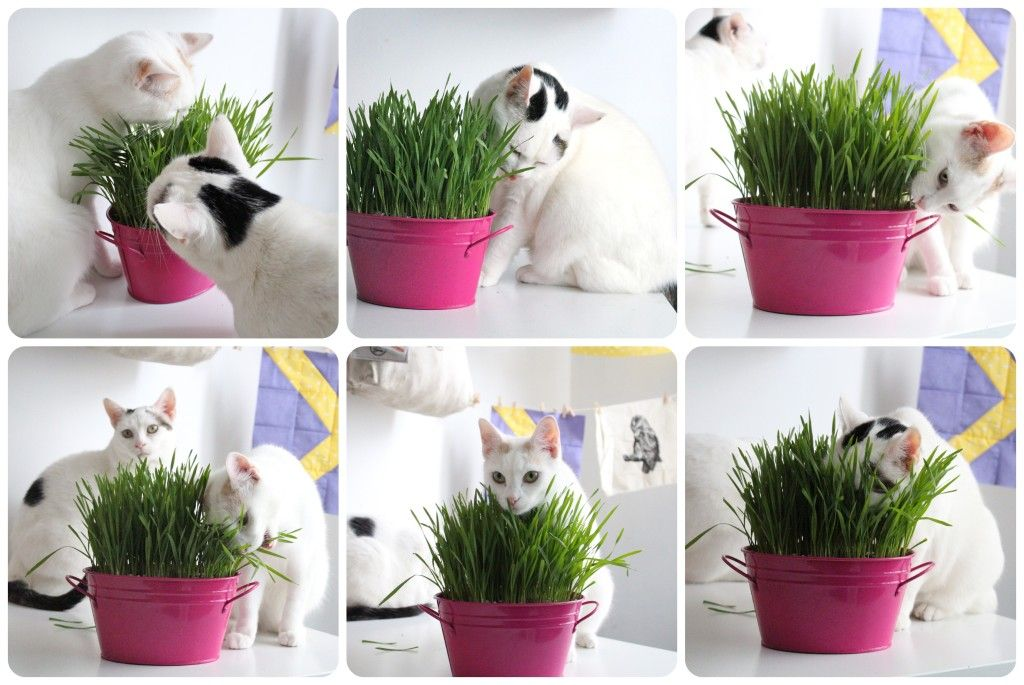 how to grow cat grass Repen