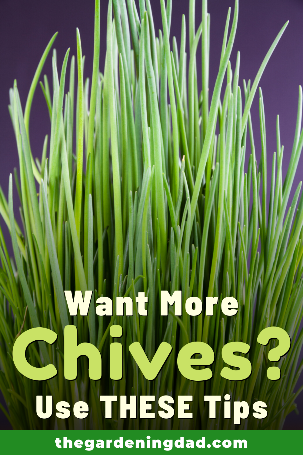 10 Proven Tips How To Grow Chives The Gardening Dad In 2020 Growing Chives Medicinal Herbs Garden Plants In Jars