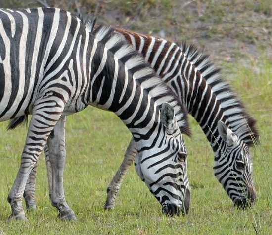 zebra diet