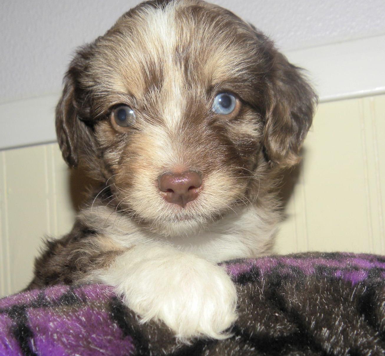 Blitzen Japanese Chin Puppy For Sale Near Salem Oregon Ed375541 29c1 Japanese Chin Japanese Chin Puppies Cute Puppies