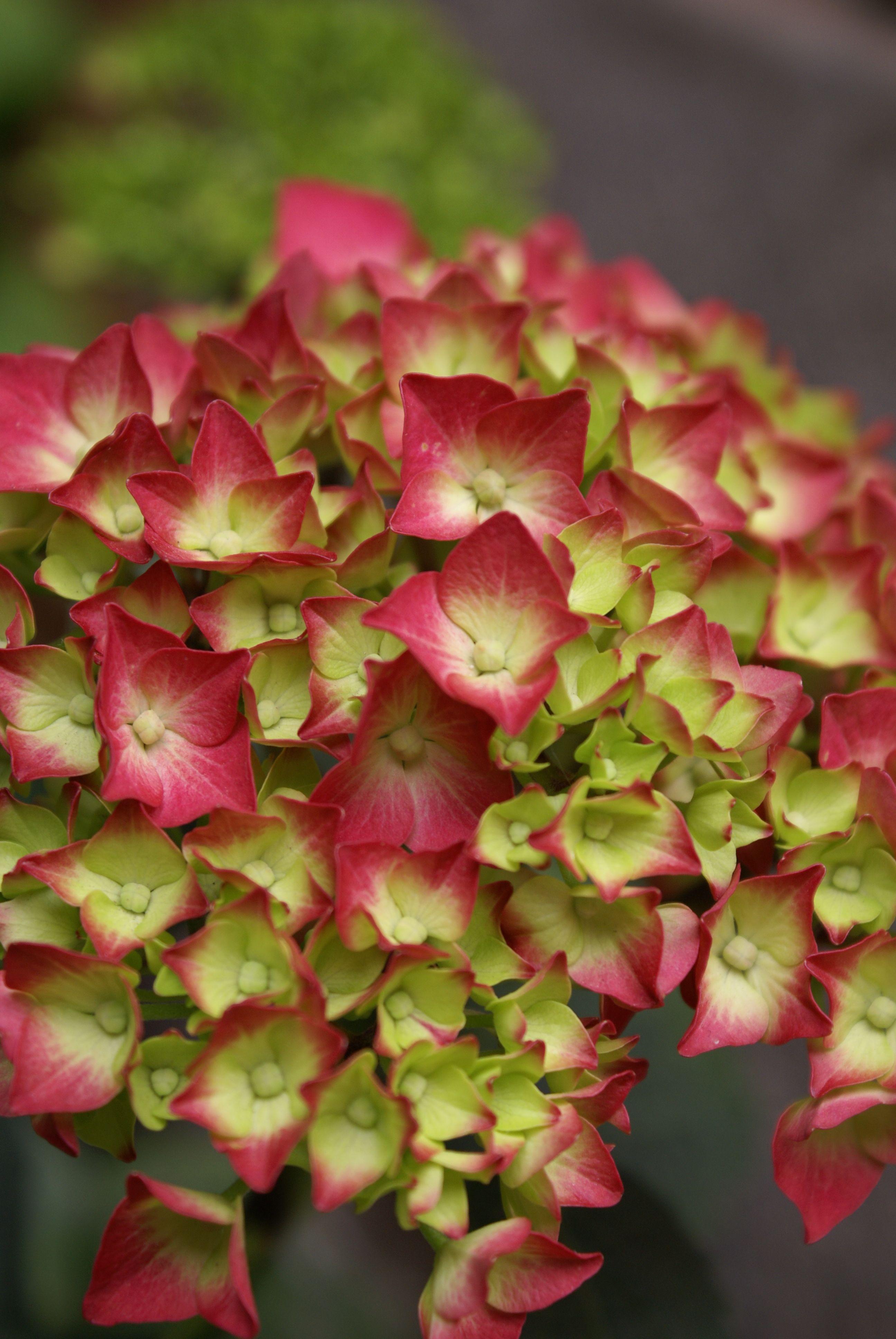flowers in peru eye candy pinterest peru flowers and hydrangea