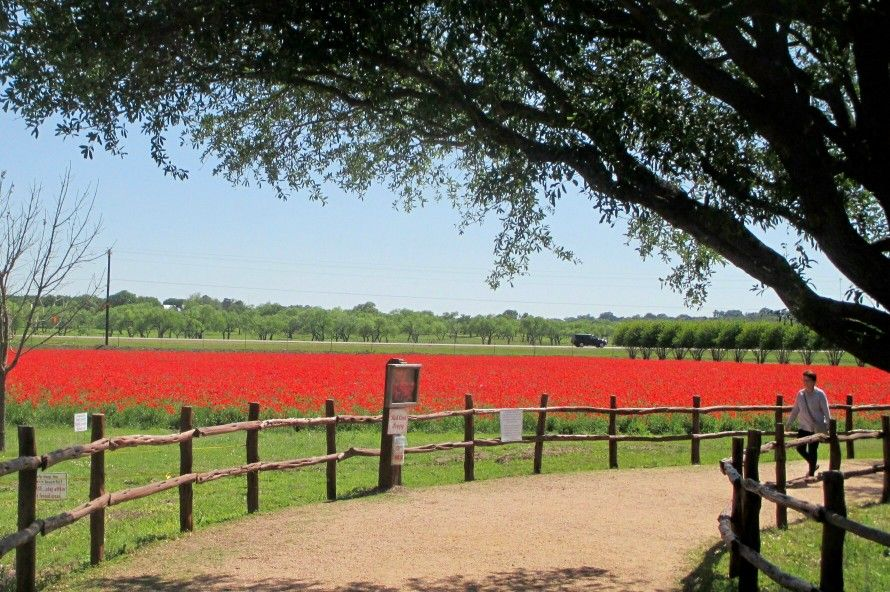 A visitor wanders past a field of Red Corn Poppy