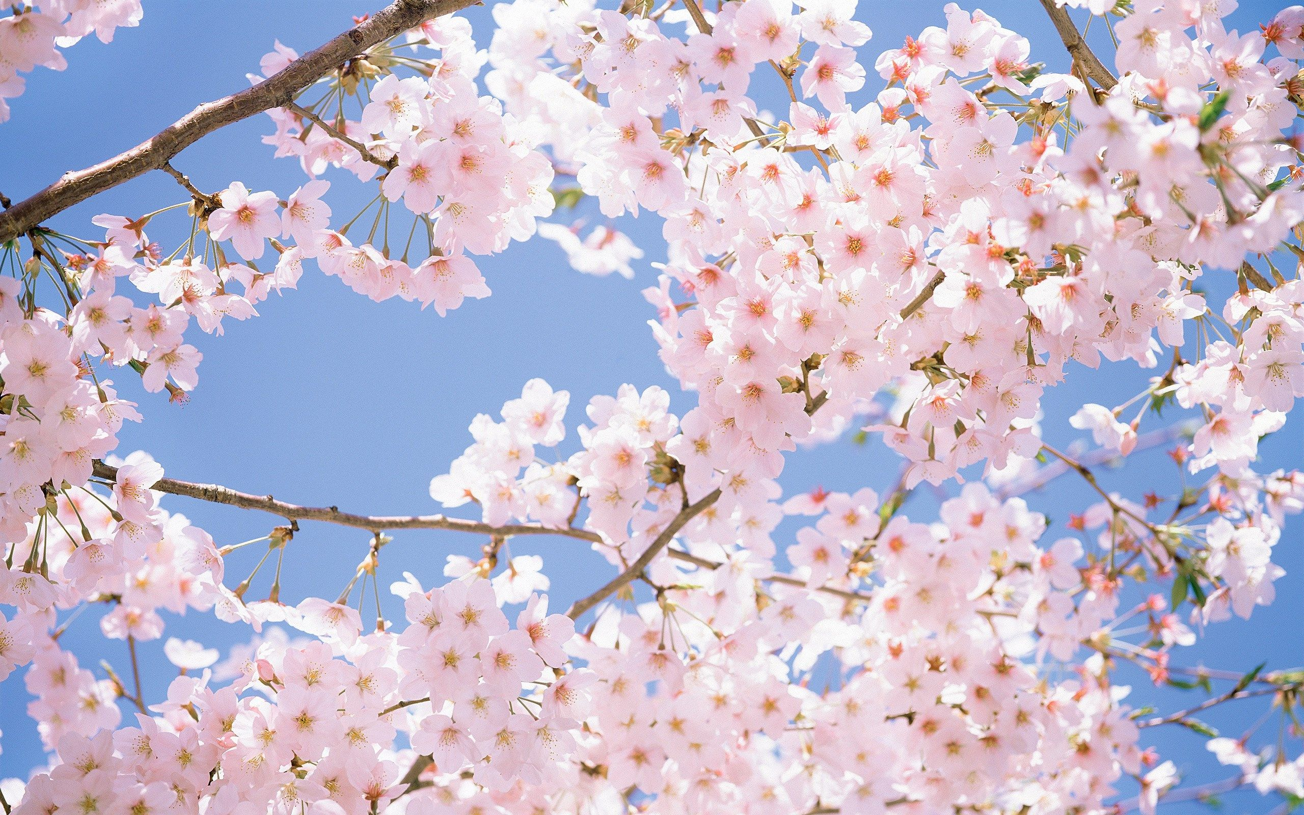 Flowers Wallpaper White Cherry Blossoms Wallpapers Desktop Cherry Blossom Wallpaper Apple Blossom Flower Flower Wallpaper