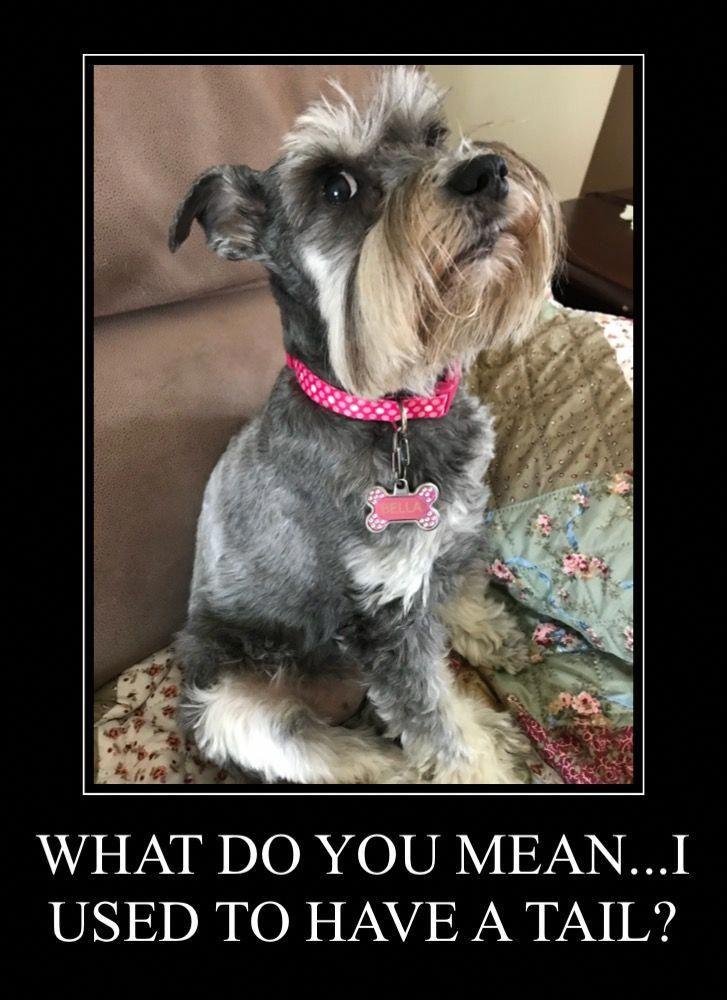 Haha Goya Love Those Schnauzer Looks What Tail Schnauzer Puppy Schnauzer Miniature Schnauzer Puppies