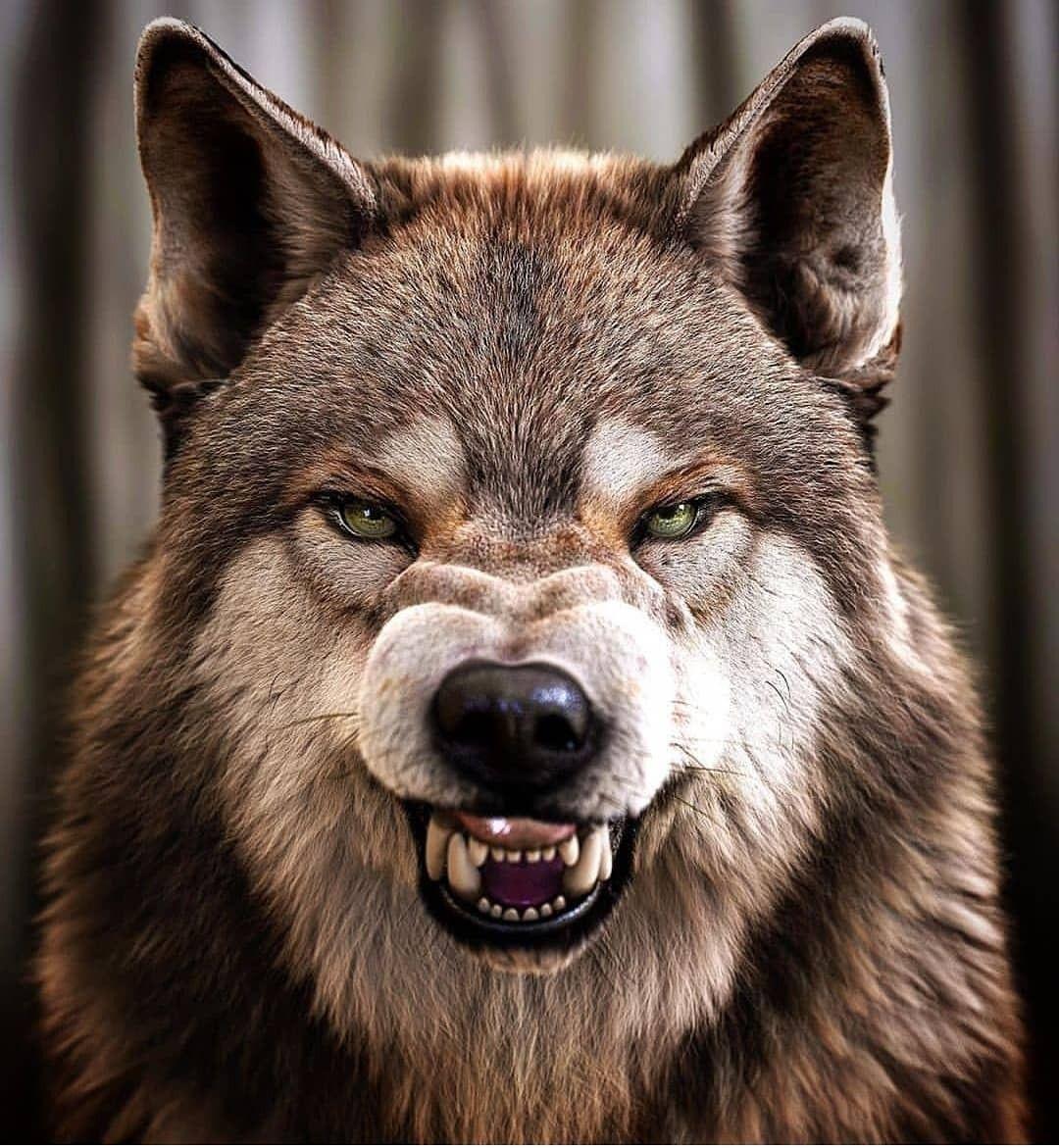 Картинки волчьего оскала