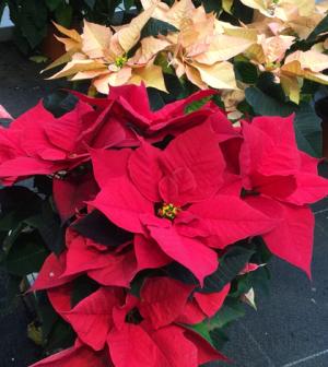 weihnachtssterne die beliebtesten zimmerpflanzen richtig pflegen garten pinterest. Black Bedroom Furniture Sets. Home Design Ideas