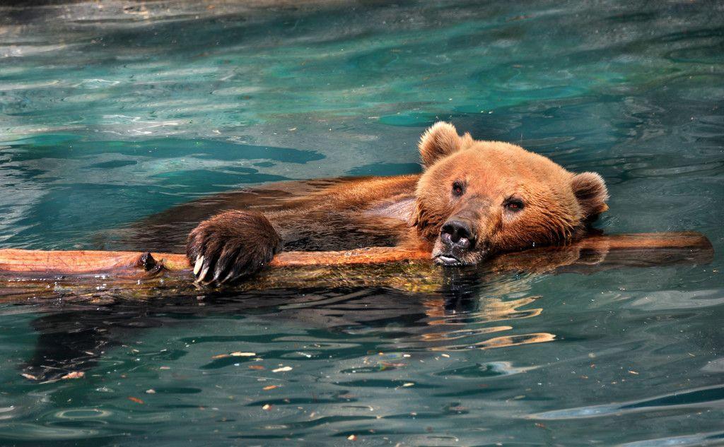 Bear Predator Swim Summer Wallpaper With Images Summer Animal Animal Wallpaper Wallpaper