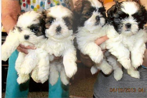 Akc Shih Tzu Puppies 6 Weeks Old Lovable Furry Friends Shih Tzu