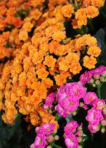 Flowering Divas: No matter how you say it, this common houseplant has uncommonly beautiful blooms.  Kalanchoe blossfeldiana 'Calandiva' photo by Jon Stewart/ABQ BioPark.
