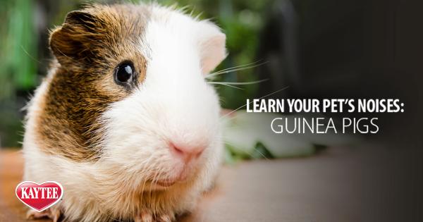 Pin En Guinea Pig
