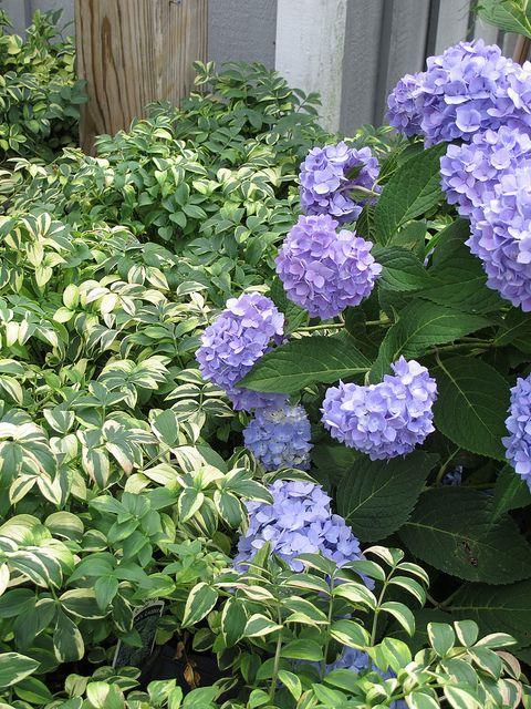 Hydrangea Macrophylla Endless Summer Polemonium Stairway To Heaven Endless Summer Hydrangea Hydrangea Macrophylla Big Leaf Hydrangea