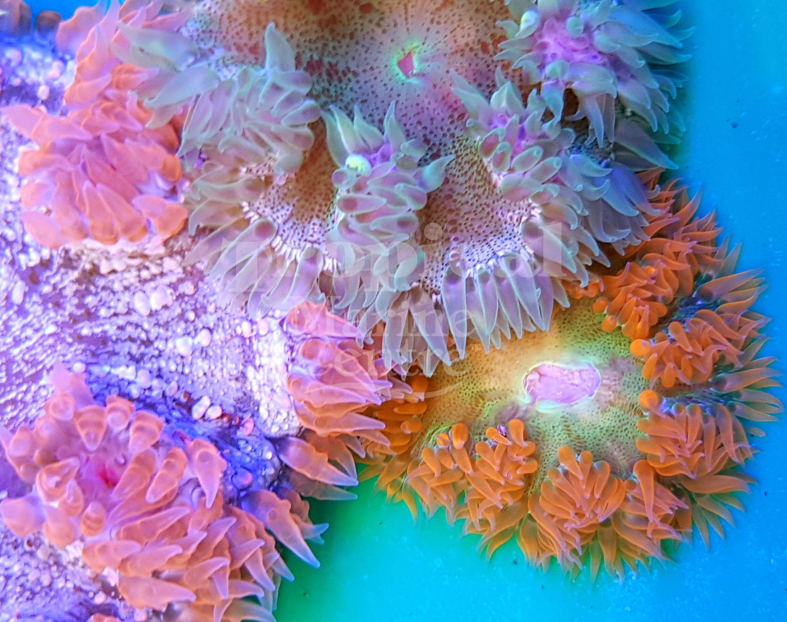 Rock Flower Anemones Tmc Tropicalmarinecentre Tmclookforthelabel Rockanemone Rockfloweranemone Rockne Saltwater Aquarium Fish Saltwater Aquarium Anemone