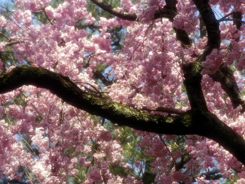 Cherry Blossom Tree In Bloom Tokyo Japan Photographic Print By Nancy Steve Ross At Allposters Com Cherry Blossom Tree Blossom Trees Cherry Blossom Japan