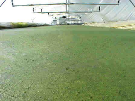 Practical duckweed application areas sustainable for Garden pool duckweed