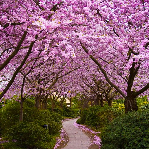 Beautiful Cherry Blossom Trees In Japan Beautiful Gardens Jacaranda Tree Pink Trees