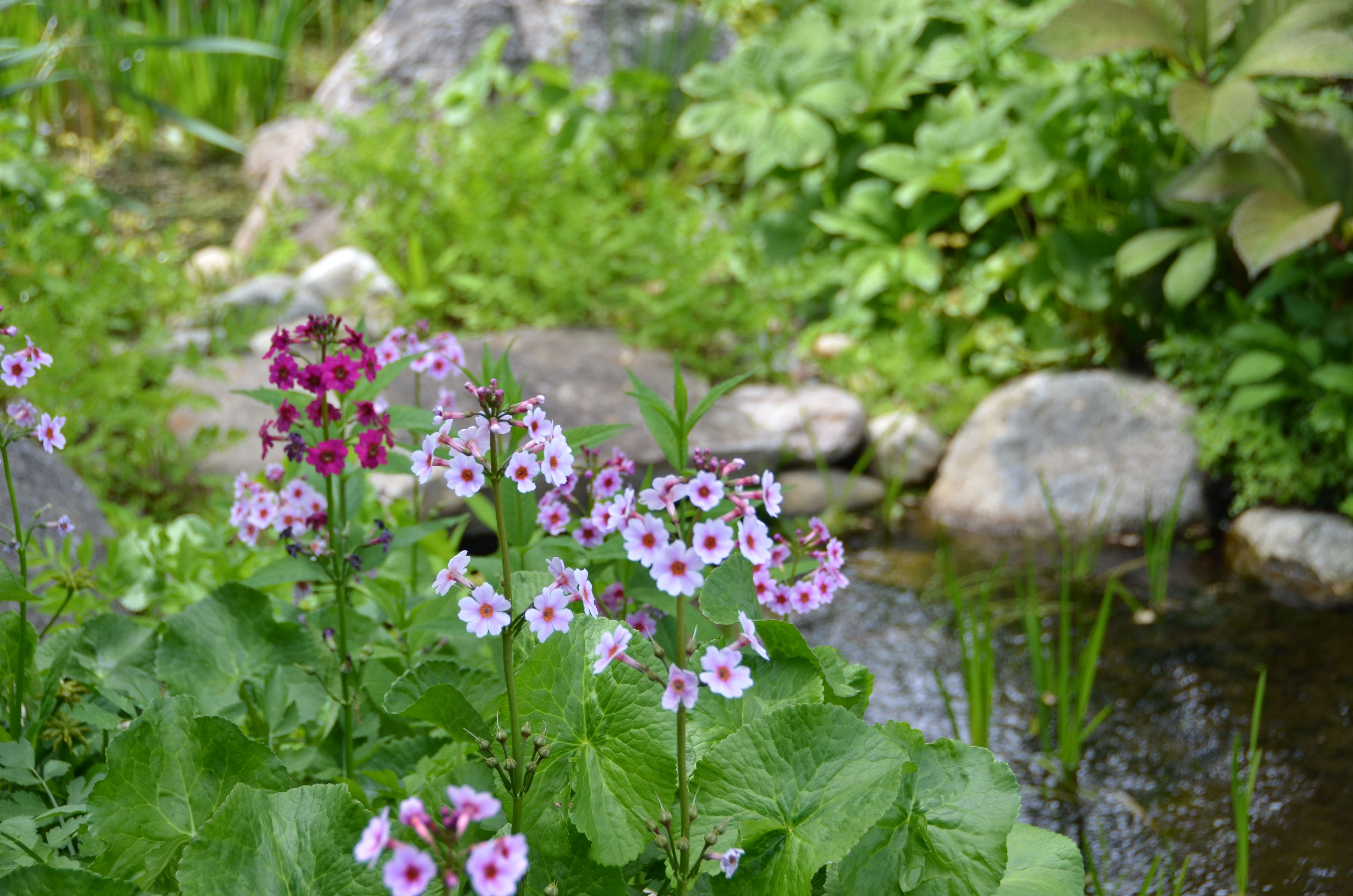 Coastal Maine Botanical Gardens- Japanese Primrose