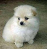 Pomeranian Puppy In Jaipur Pet Shop Mr Dog Pinterest Puppies