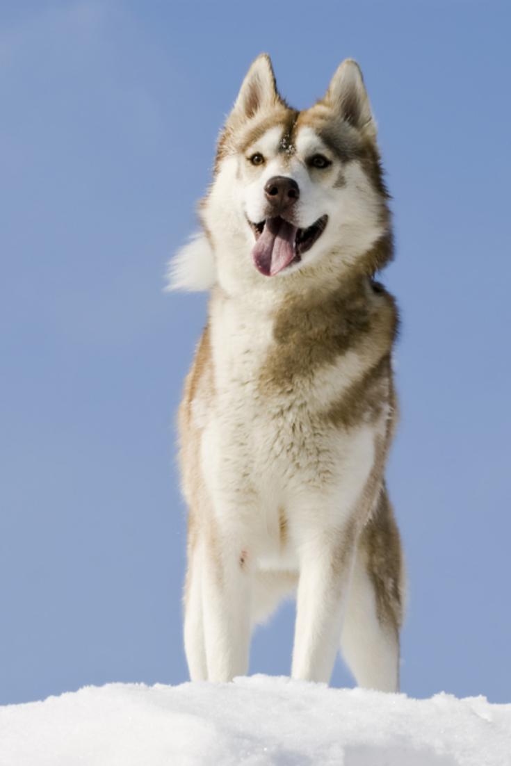 Siberian Husky Stands At Snow Mountain Top Siberianhusky In 2020 Siberian Husky Husky Yorkshire Terrier