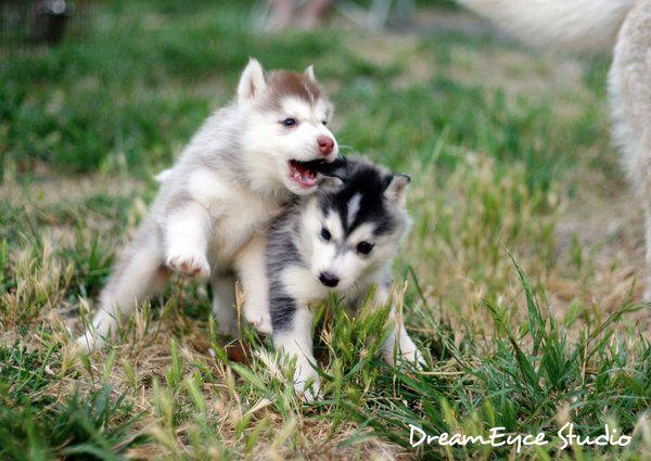 Two Siberian Huskies | Unique animals, Animals, Husky