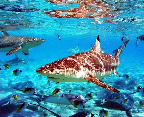 Black Tip Reef Shark in Bora Bora,Tahiti