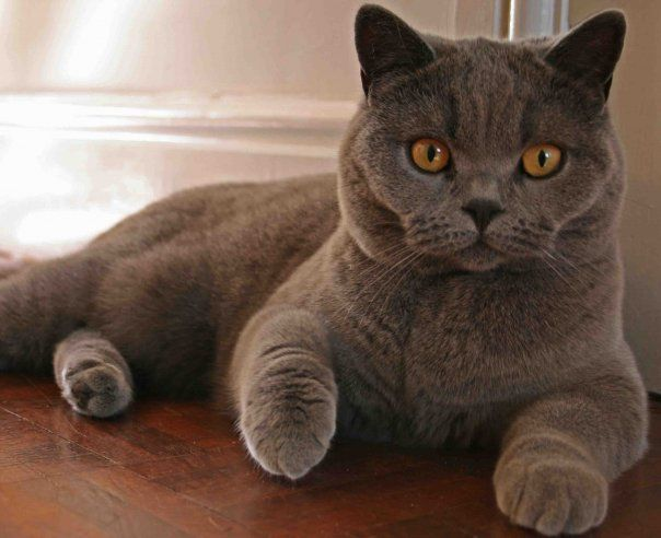 Pin en Cats British Shorthairs