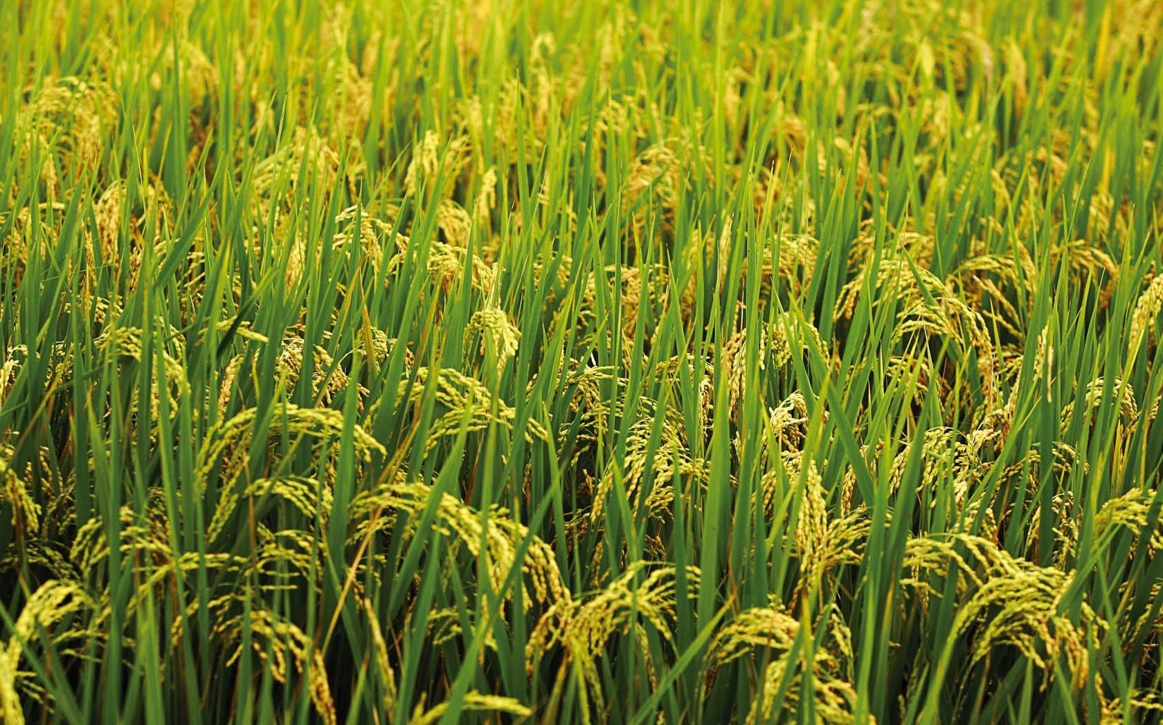 Seed To Rice Rice Production In Bangladesh Plant Wallpaper Beautiful Nature Wallpaper Village Photography