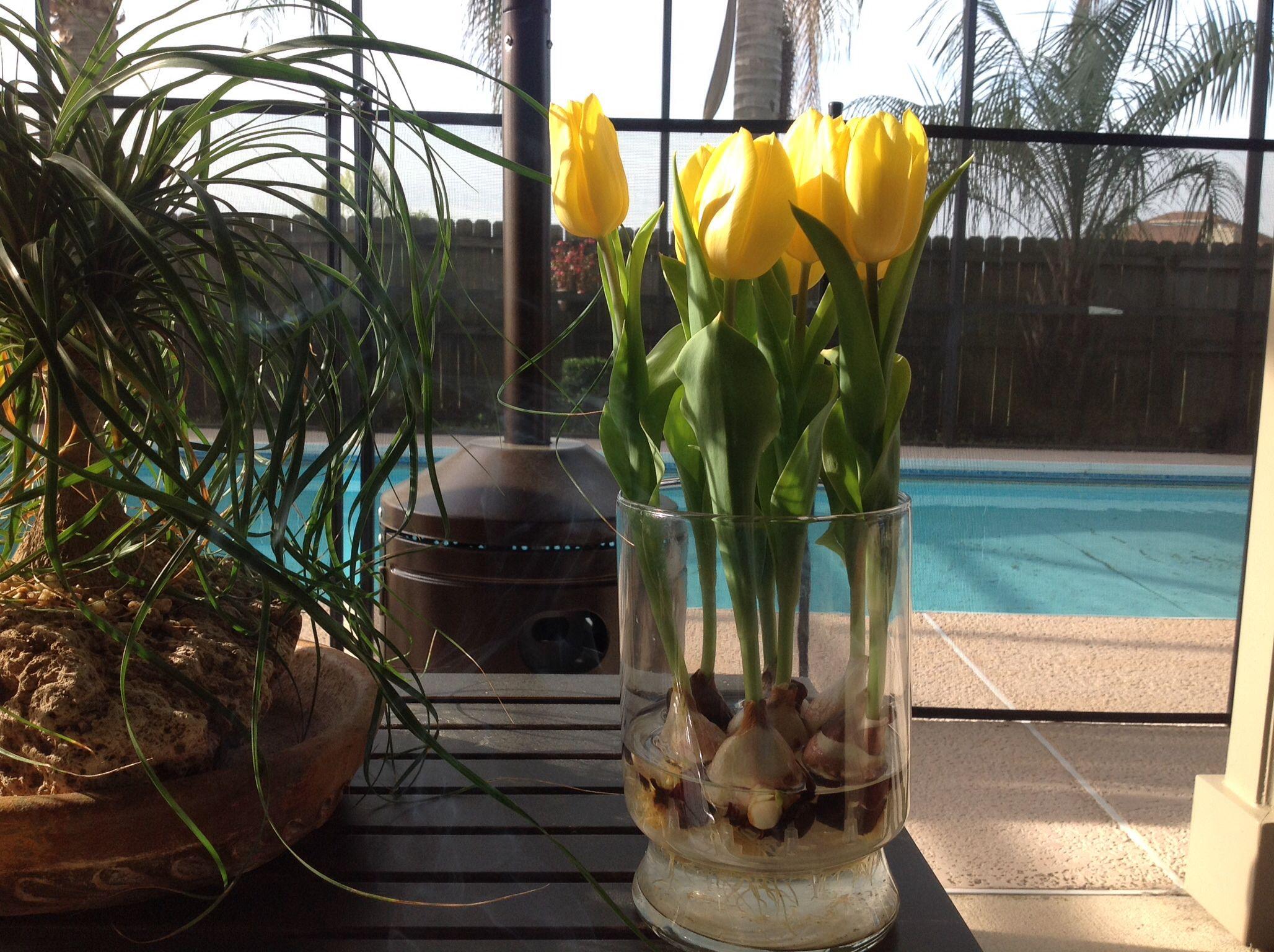 Los tulipanes no les agrada el calor de la florida as que - Contenedor de agua ...