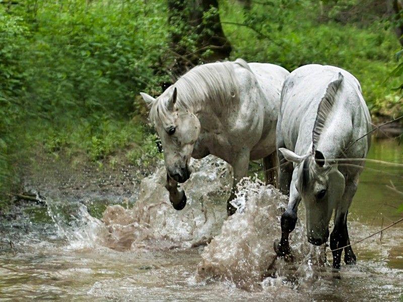 Les Fonds D Ecran Deux Chevaux Blancs Qui Jouent Avec L Eau Citations Equitation Cheval Jolis Chevaux