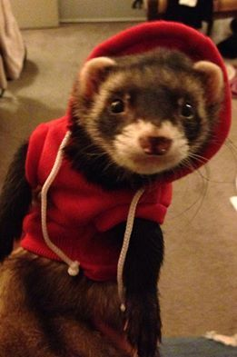 Ferret hoodie holy crap I want one!!! I pray I get mine on Friday like I was sorta promised lol