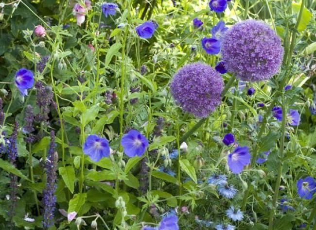 ail d 39 ornement g ranium et nigelle pour le printemps fleurs vivaces de jardin pinterest. Black Bedroom Furniture Sets. Home Design Ideas