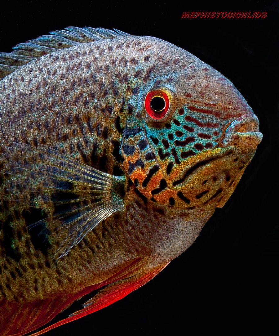 Freshwater aquarium fish cichlids - Heros Notatus A Type Of Wild Severum Also A Dream Fish Of Mine I Had