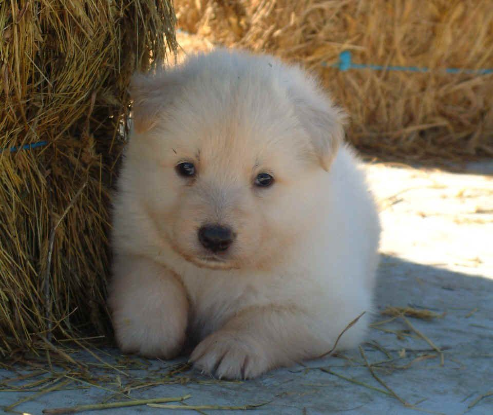 White Swiss Shepherd Dog Puppy Dog Pictures Puppies Dogs And