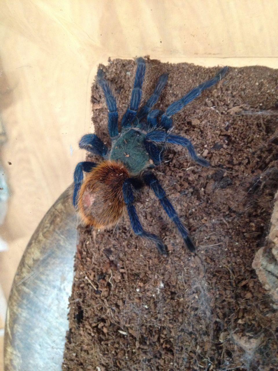 Green bottle blue tarantula Tarantulas for sale, Green, Blue