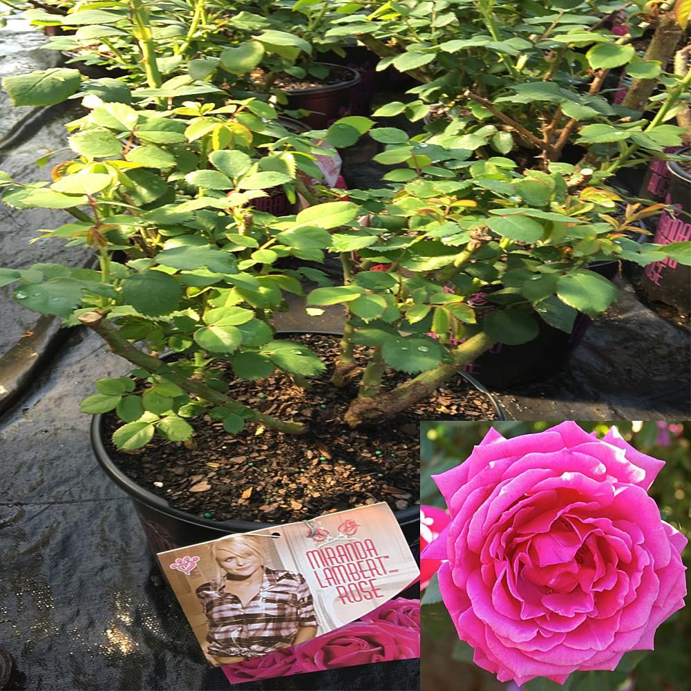 3 Gal Miranda Lambert Rose Plant Want Some Of These So Much Prettier In Person The Pic Does Not Do It Justice Planting Roses Plants Miranda Lambert
