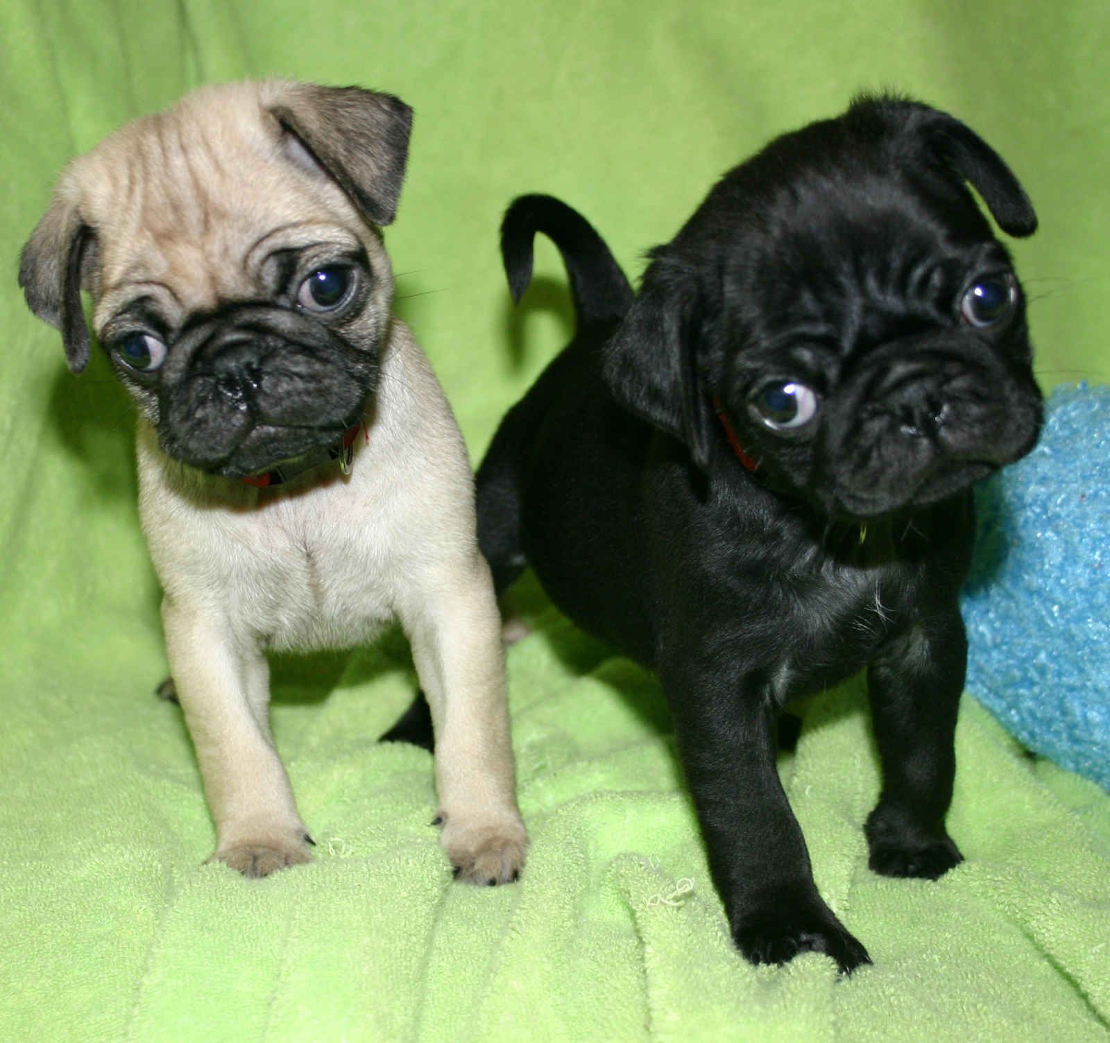 Cute Puppy Dogs Black Pug Puppies Oh The Cuteness Pug