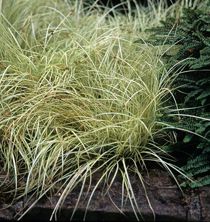 Native Sons Annotated Catalog Grasses Plants Grass Succulents