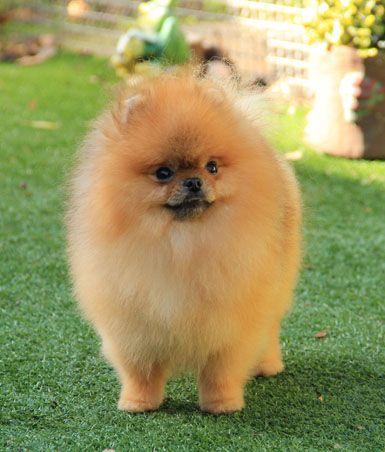 Pomerania . Cuando un perro pierde sus orígenes en la