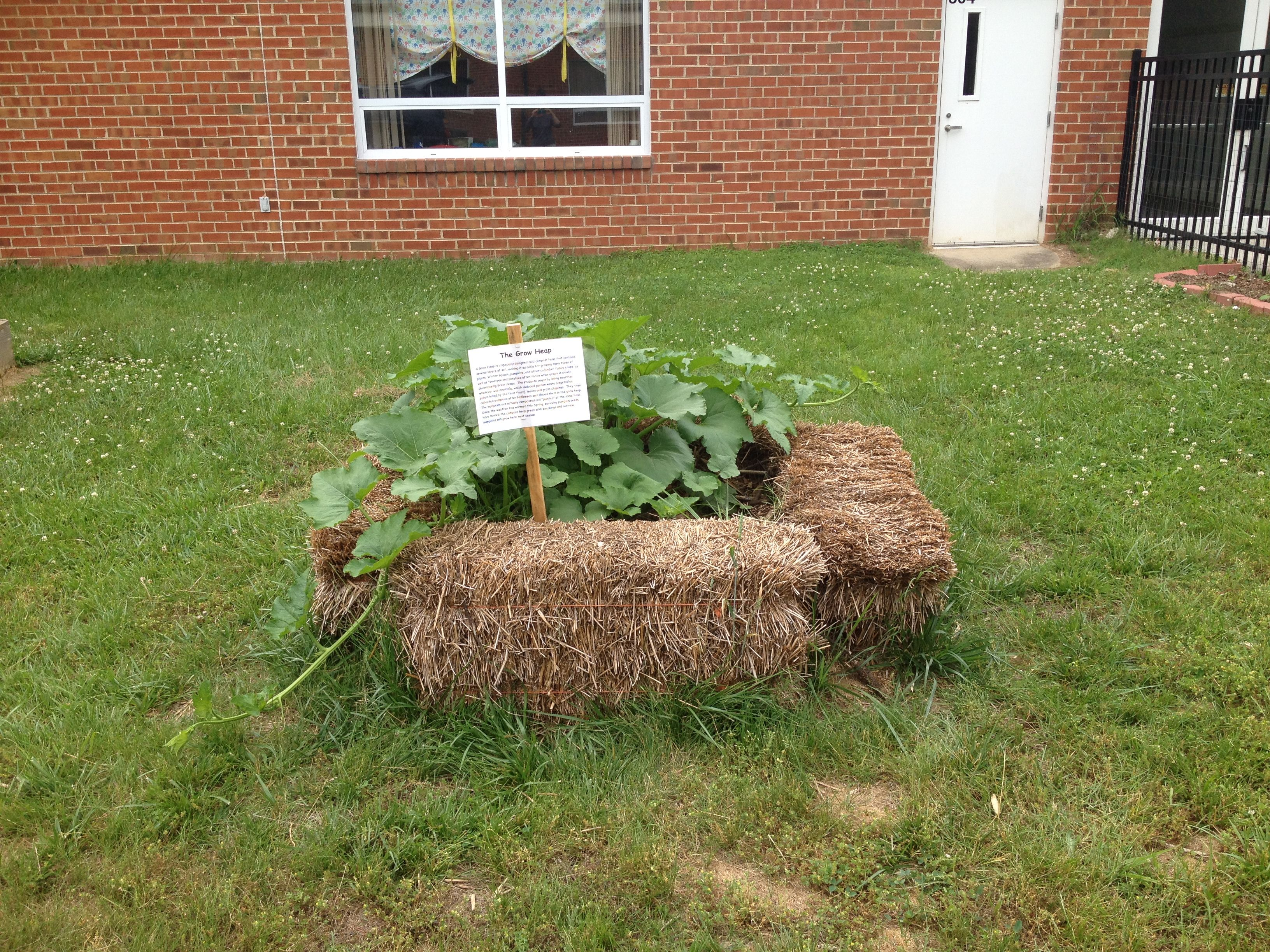 This is our grow heap, a compost pile.  In the file we added the garden waste, leaves and grass clippings to the pile which is surrounded by four straw bales.  The teachers also gave us about 10 pumpkins they had in their classrooms.  We watched them decompose all winter and the spring we had tons of pumpkin volunteers.  We thinned them out to just a few pumpkin vines.  A great way to grow pumpkins and make compost!