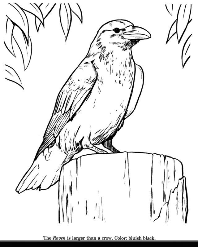 raven bird identification drawing coloring page free printable raven coloring pages featuring wild animals