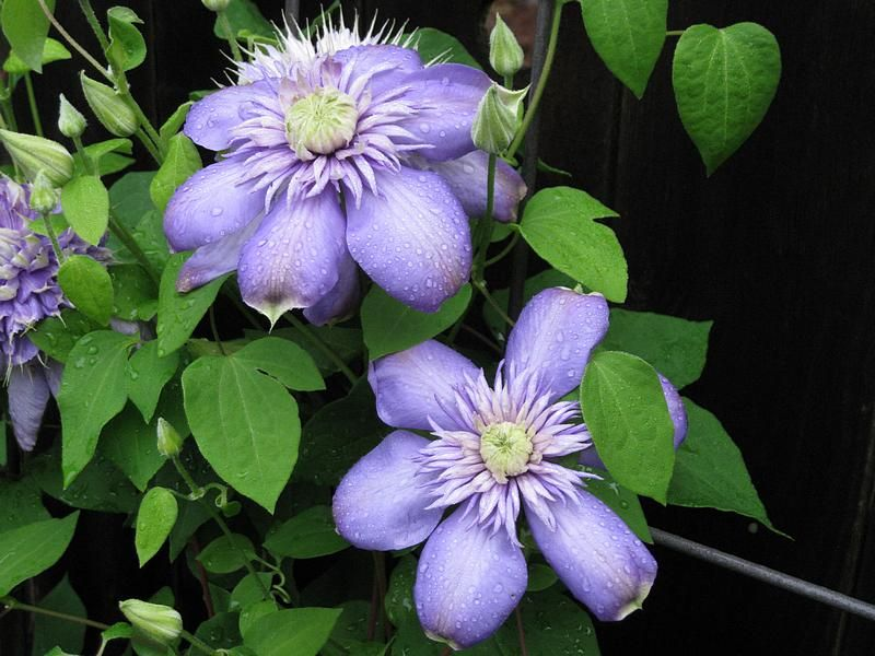 Clematis Blue Light Clematis Flowers Plants