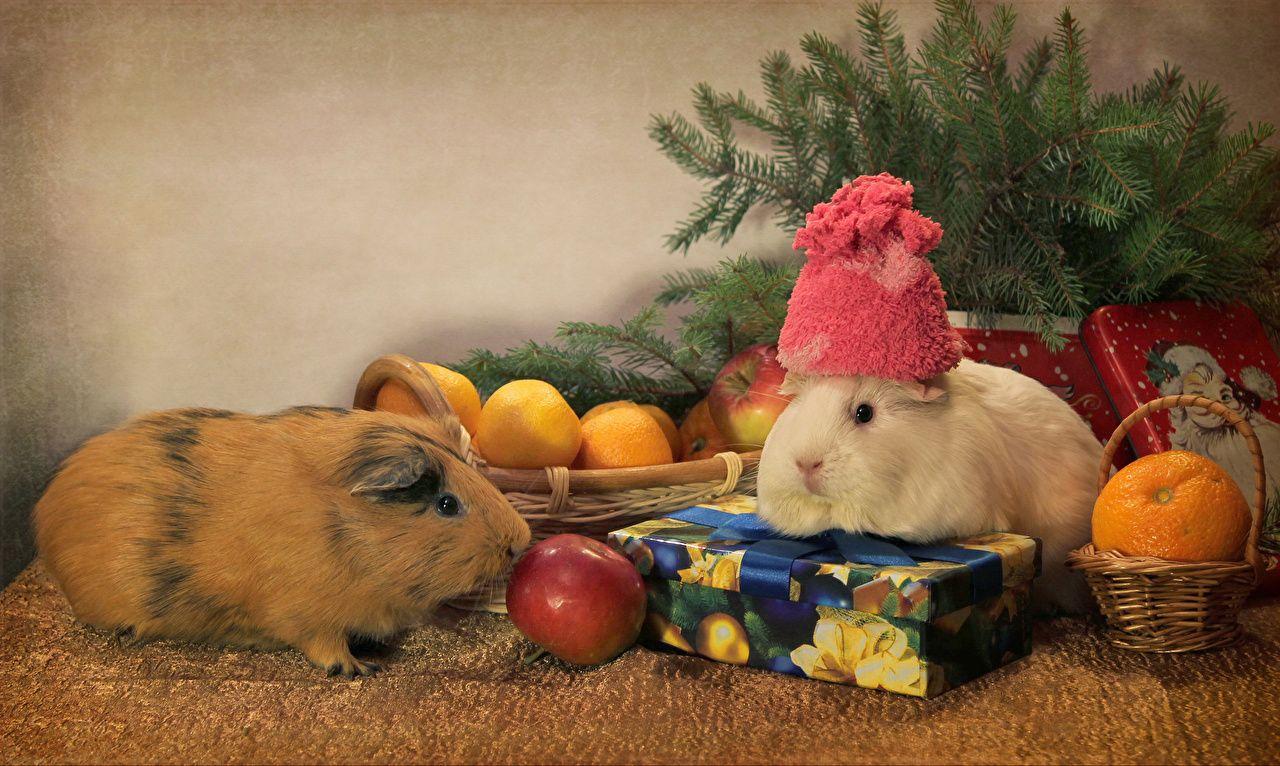 新年 モルモット りんご マンダリンオレンジ 2 二つ 贈り物
