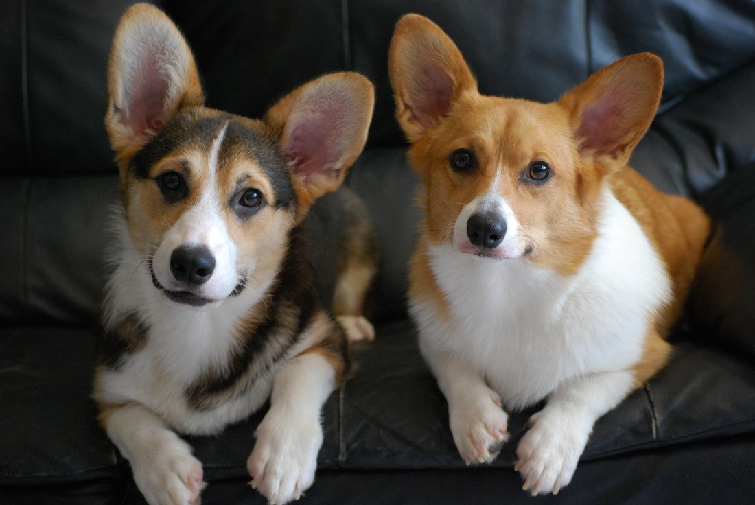 DeKunst Pembroke Welsh Corgi Photo Gallery | Michigan - Monte Cristo Welsh Corgi's