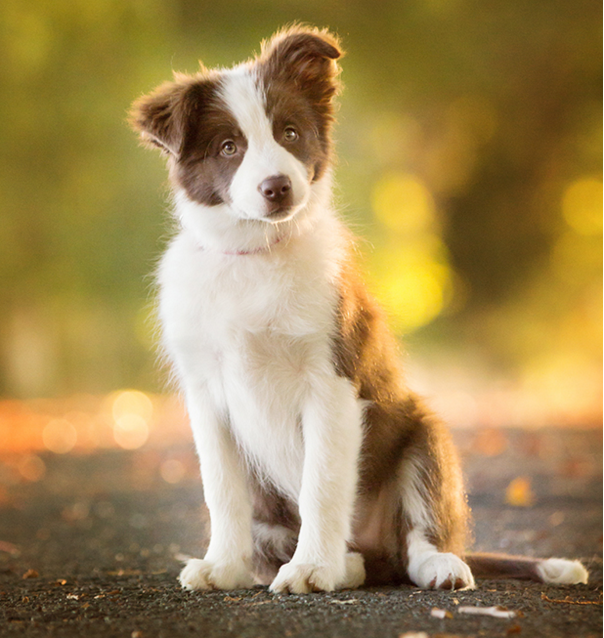 Pin By Aubrey Thomson On Aesthetically Pleasing Animals Border Collie Puppies Border Collie Dog Puppy Photography